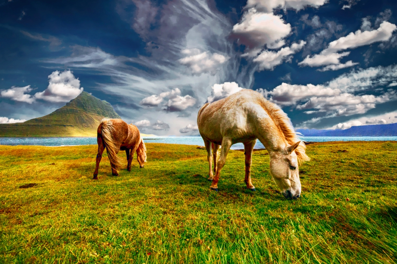 Grazing horses in Iceland